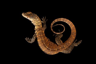 Photo: A Komodo dragon, Varanus komodoensis, at Sedgwick County Zoo. This animal is less than three months old and was a parthenogenetic birth.