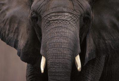 Photo: African elephant (captive.)