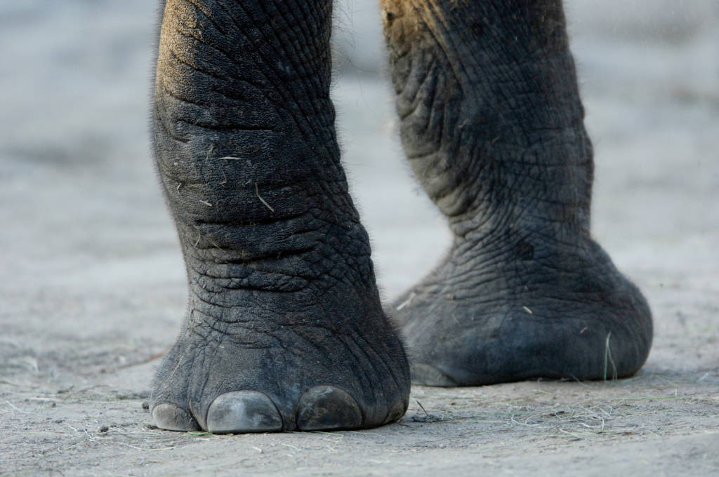 Photo: An African elephant at the Sedgwick County Zoo.