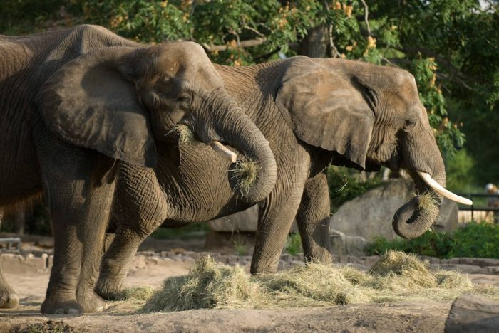 Photo: African elephants at the Sedgwick County Zoo.