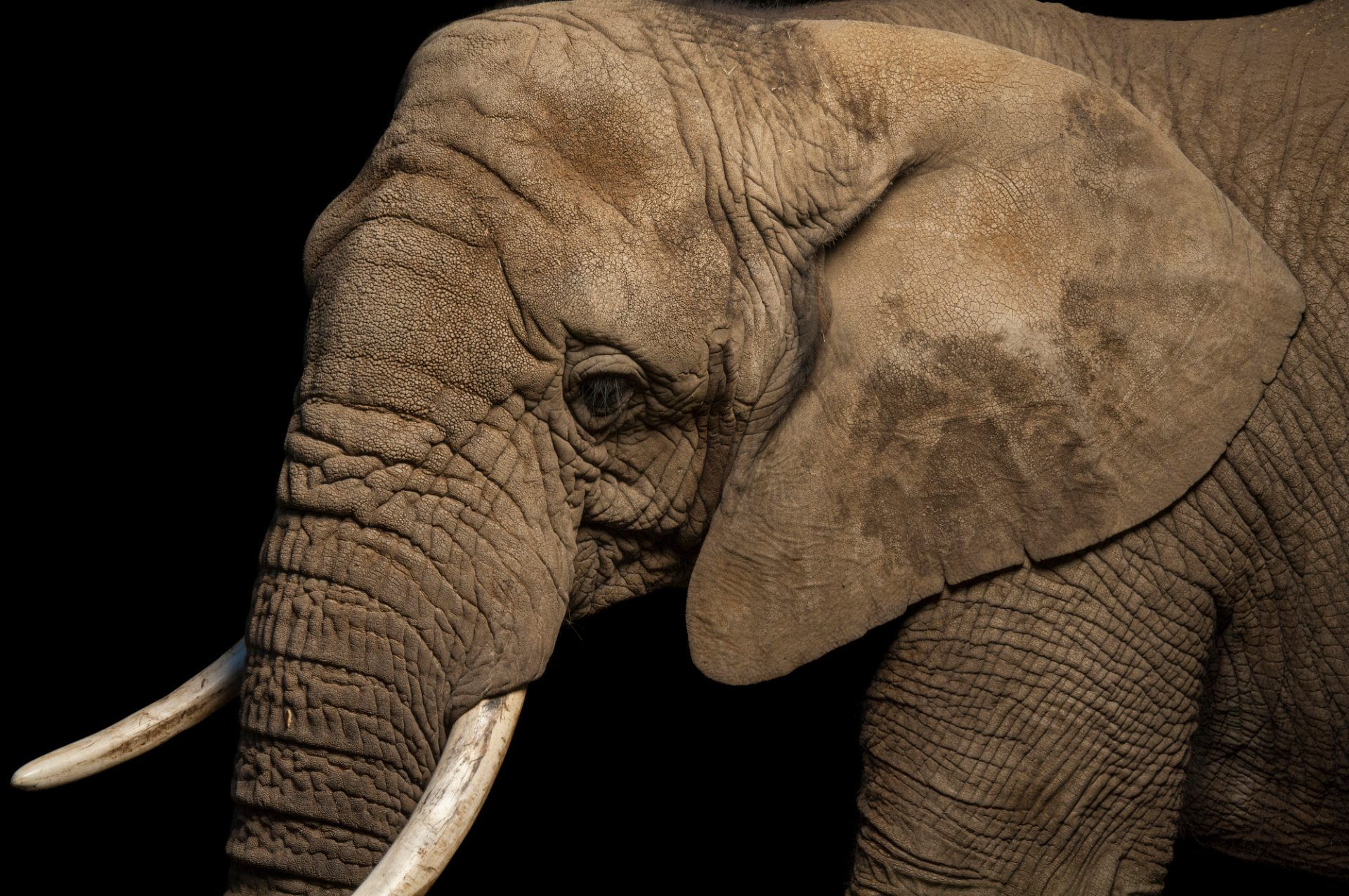 A female, vulnerable African elephant (Loxodonta africana) at the Cheyenne Mountain Zoo.