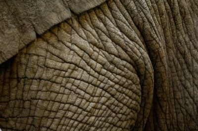 A vulnerable female African elephant (Loxodonta africana) at the Cheyenne Mountain Zoo.