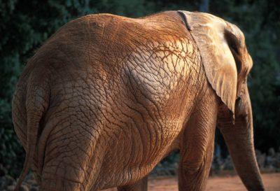 A captive, vulnerable, African elephant (Loxodonta africana).