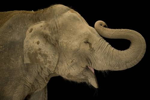 Picture of an endangered Asian elephant (Elephas maximus).