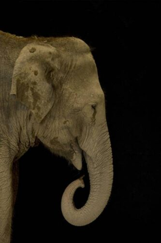 Picture of an endangered Asian elephant (Elephas maximus)