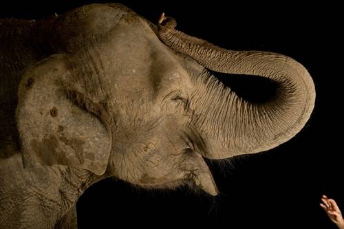 Picture of an endangered Asian elephant (Elephas maximus) with handler.