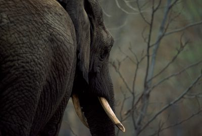 Rear view of an African elephant (Loxodonta africana). Listed as vulnerable (IUCN)