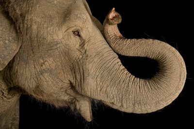 Photo: An endangered Asian elephant (Elephas maximus).