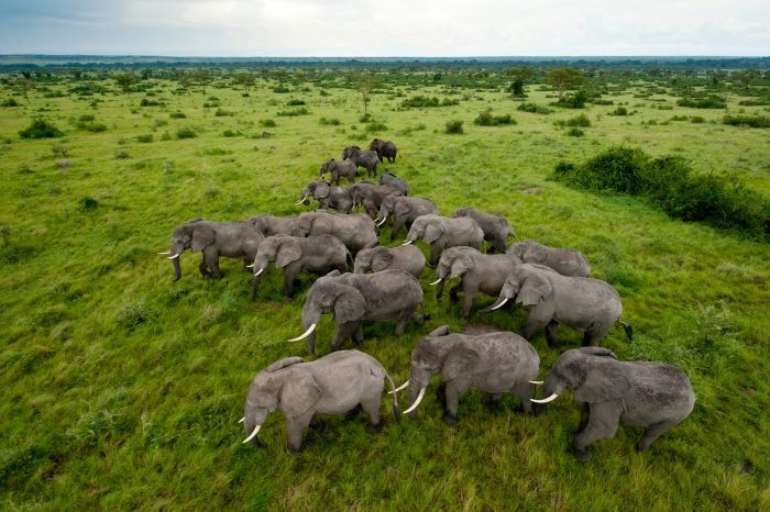 Photo: A group of elephants roams the plains of Queen Elizabeth National Park in Uganda.