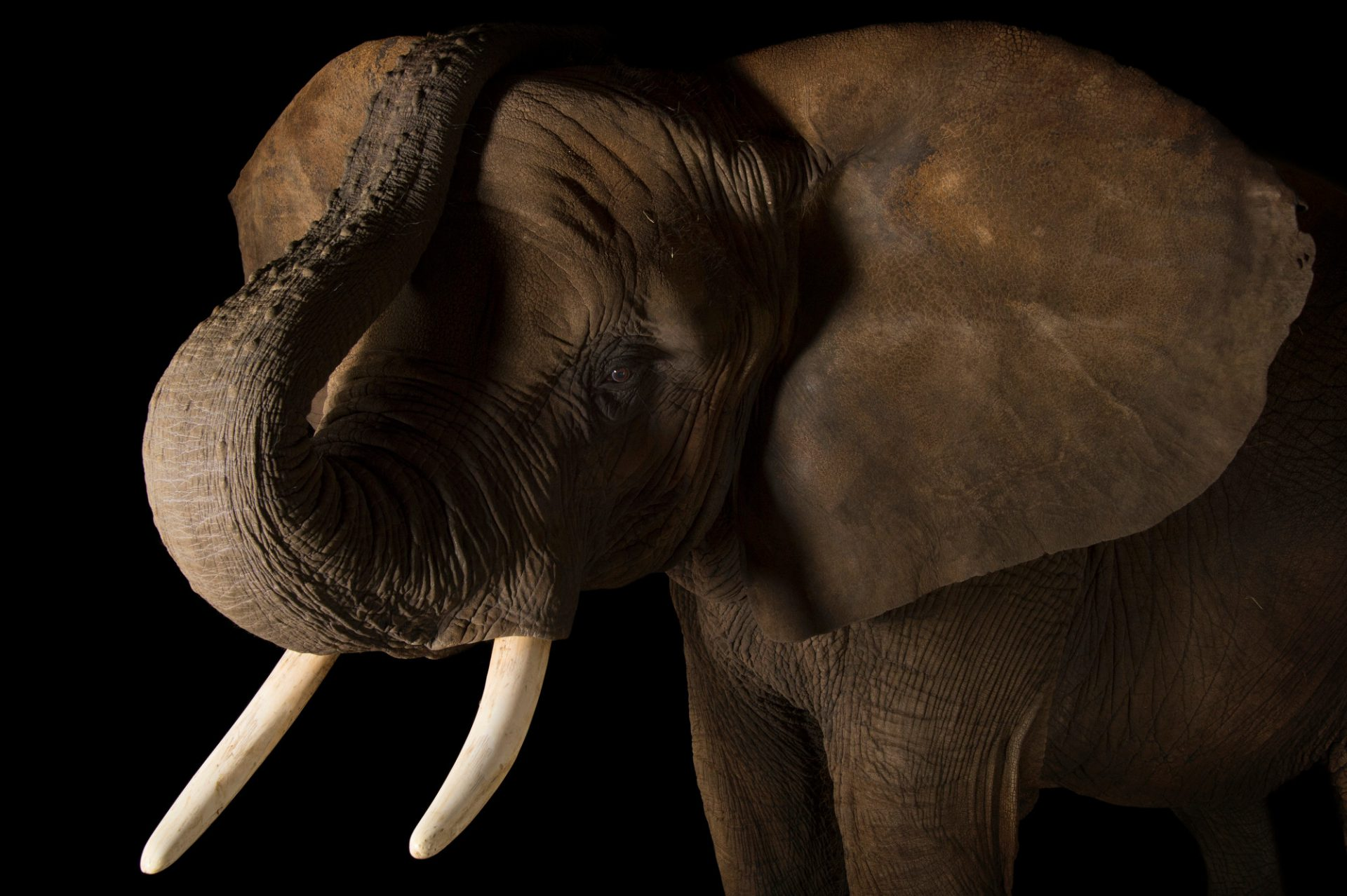 A vulnerable African elephant (Loxodonta africana) at the Indianapolis Zoo.