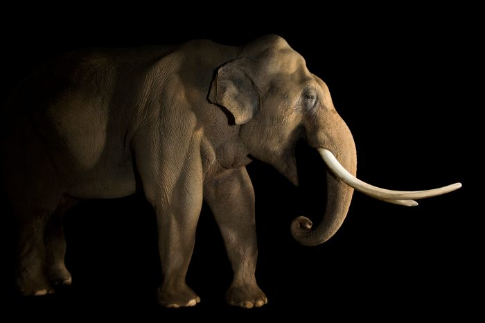 Picture of a 29-year-old endangered male Asian elephant (Elephas maximus) named Billy at the LA Zoo.