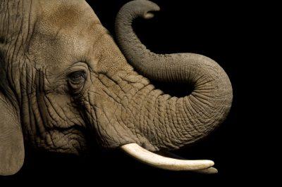 Photo: A female African elephant (Loxodonta africana) at the Cheyenne mountain Zoo.