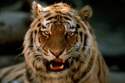 Photo: Captive tiger snarling.