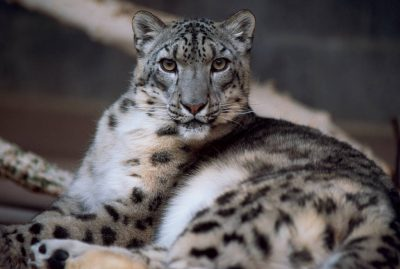 Photo: Snow leopard reclining in a zoo.