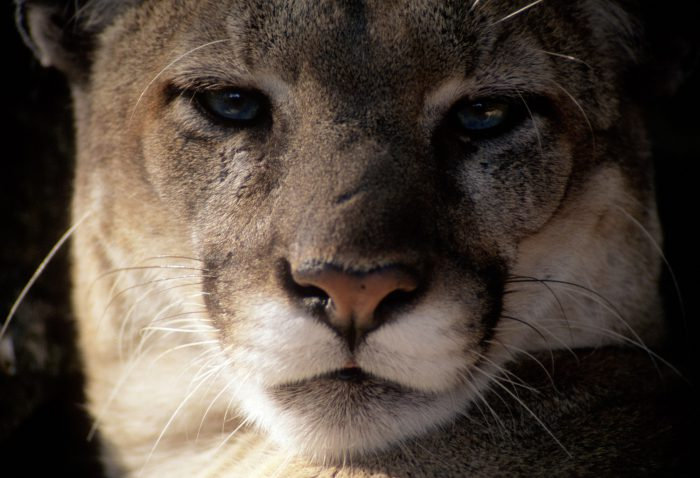 Photo: An endangered Florida panther waits in a Tampa zoo for the chance to breed.