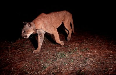 Photo: Endangered Florida panther caught in the wild with a cameratrap at the Florida Panther NWR near Naples, Florida.