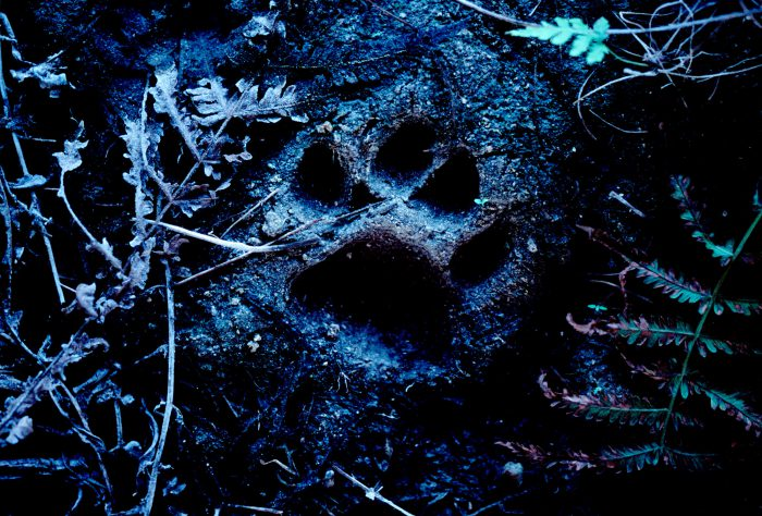 Photo: Footprints of the endangered Florida panther in the mud prove the cats use the wildlife underpass under Alligator Alley (Highway 75) near Naples, Florida.