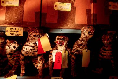 Photo: Confiscated pelts of ocelots and other endangered wildcats in storage at a US government forensics lab.