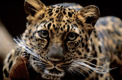A vulnerable (IUCN) and federally endangered Amur leopard (Panthera pardus orientalis).