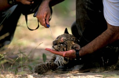 Photo: An ocelot struggles to lift its head as it wakes up from a drug.