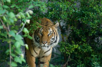 An Indochinese tiger (Panthera tigris corbetti) behind plants at the Houston Zoo. (IUCN: Endangered)