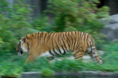An Indochinese tiger (Panthera tigris corbetti) at the Houston Zoo. (IUCN: Endangered)
