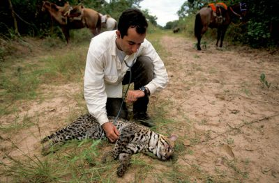 Photo: Biologists study an ocelot at the SESC Reserve in Brazil's Pantanal region.