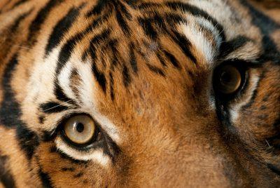 Endangered Malayan tiger (Panthera tigris jacksoni) at Omaha's Henry Doorly Zoo.