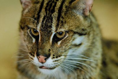 Photo: A fishing cat (Felis viverrina) at Omaha's Henry Doorly Zoo.