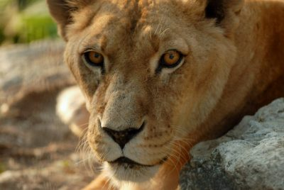 A vulnerable female African lion (Panthera leo krugeri) at Omaha's Henry Doorly Zoo. This animal was transferred up from New Orleans as a result of Hurricane Katrina.