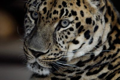A vulnerable (IUCN) and federally endangered Amur leopard (Panthera pardus orientalis) at Omaha's Henry Doorly Zoo.