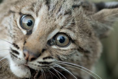 Photo: Bobcat at a wildlife rescue facility near Talmadge, NE.