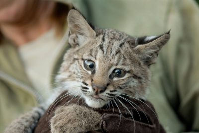 Photo: A wildlife rescue member holds her hand-raised bobcat at her home in Eastern Nebraska.
