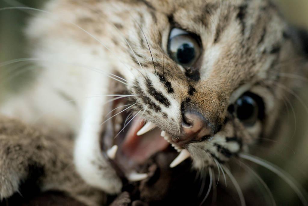 Photo: A wildlife rescue member holds her hand-raised bobcat at her home in Eastern Nebraska.