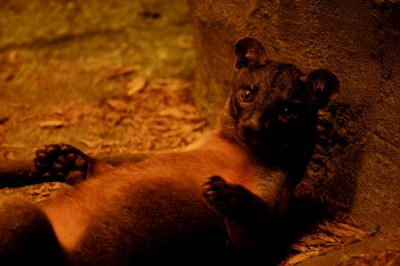 Photo: A fossa from the Henry Doorly Zoo's Desert Dome.