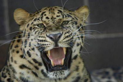 Photo: An Amur leopard from the Omaha Zoo.