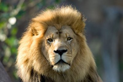 Photo: An African lion at the Sedgwick County Zoo.