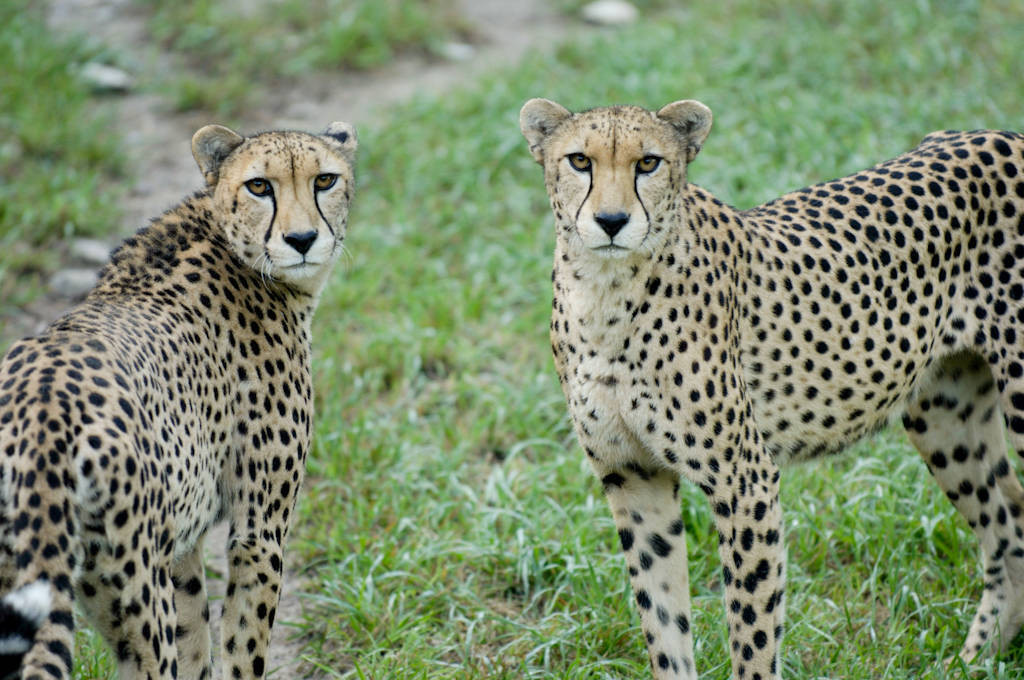 Vulnerable (IUCN) and federally endangered cheetahs (Acinonyx jubatus) at the Sunset Zoo in Manhattan, KS.