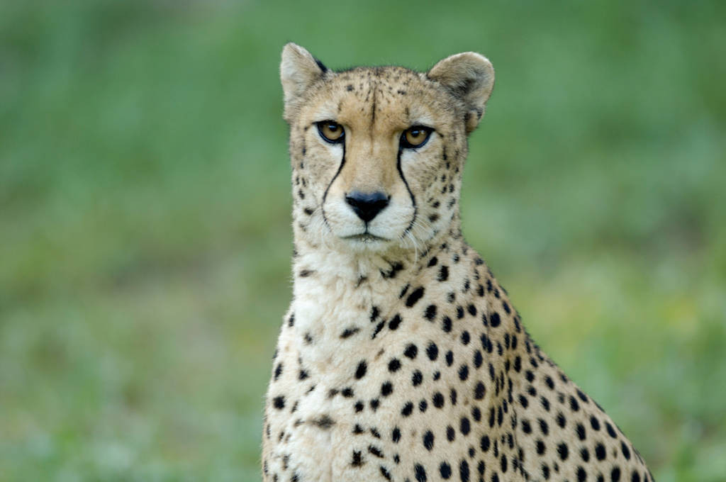 A vulnerable (IUCN) and federally endangered cheetah (Acinonyx jubatus) at the Sunset Zoo in Manhattan, KS.