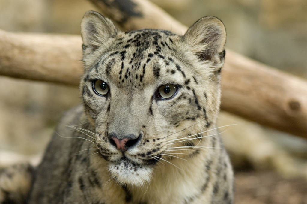 An endangered (IUCN) and federally endangered snow leopard cub (Uncia uncia) at the Sunset Zoo in Manhattan, Kansas.