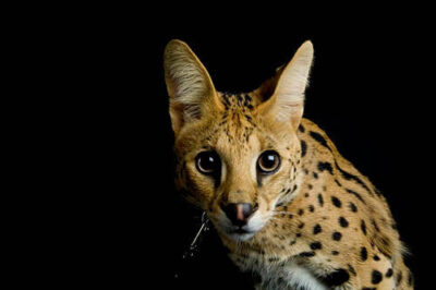 Picture of a serval (Leptailurus serval) at the Denver zoo.