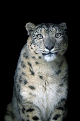 An endangered (IUCN) and federally endangered snow leopard (Panthera uncia) at the Denver Zoo.