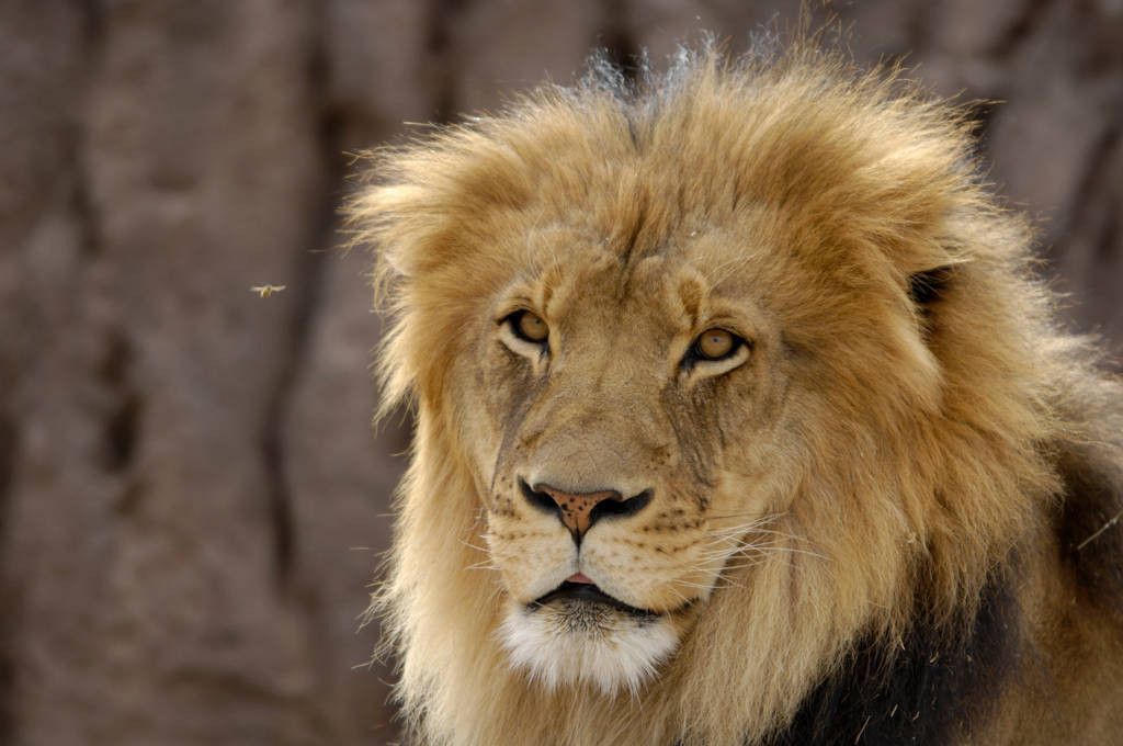 Photo: African lion (Panthera leo) at the Denver zoo.
