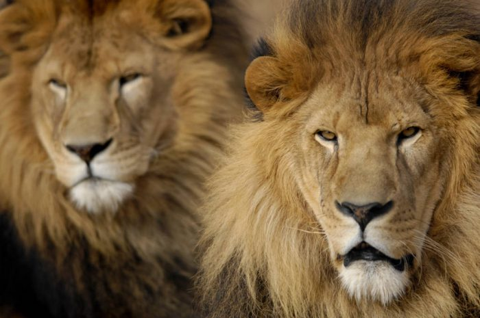 Photo: Male African lions (Panthera leo) at the Rolling Hills Wildlife Adventure.