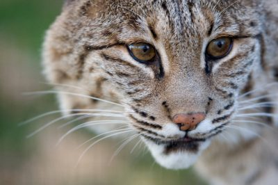 Picture of a bobcat (Lynx rufus) at the Rolling Hills Wildlife Adventure.