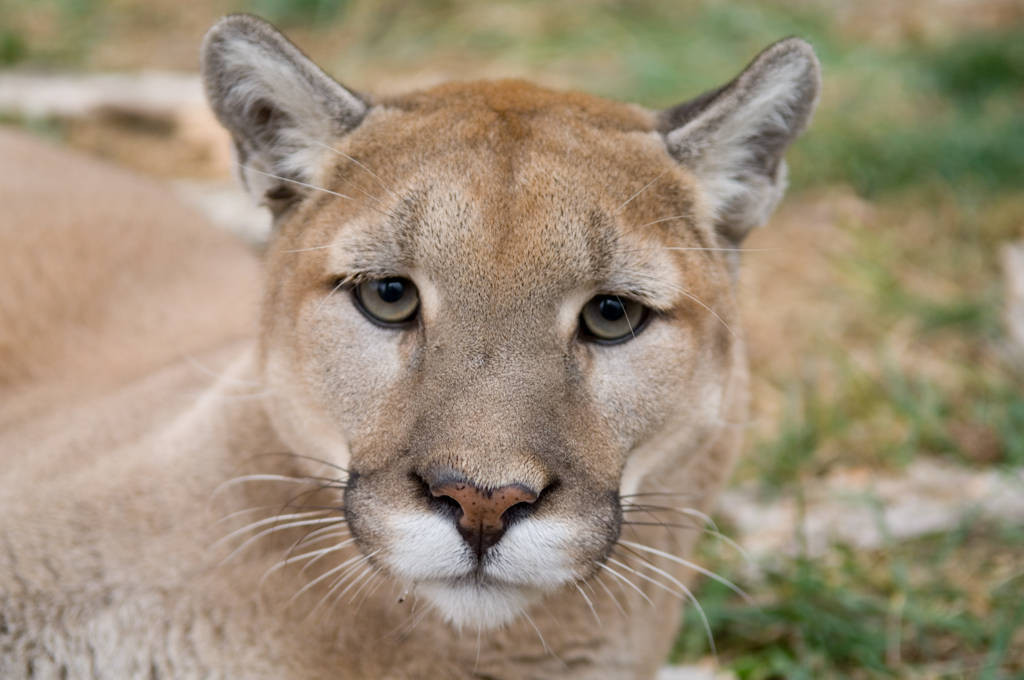 Photo: A mountain lion or puma (Puma concolor) at the Rolling Hills Wildlife Adventure.