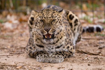 A vulnerable (IUCN) and federally endangered Amur leopard (Panthera pardus orientalis) at the Rolling Hills Wildlife Adventure.