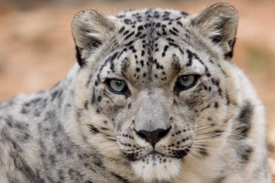 An endangered (IUCN) and federally endangered snow leopard (Uncia uncia) at the Rolling Hills Wildlife Adventure.