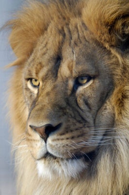 Photo: An African lion (Panthera leo) at the Riverside Zoo.