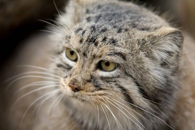 Pallas' cat (Otocolobus manul) at the Bramble Park Zoo.